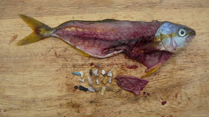 mikroplastik w rybach